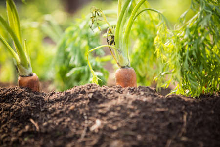botanical farms: Close-up of fresh organic carrots in agricultural farm