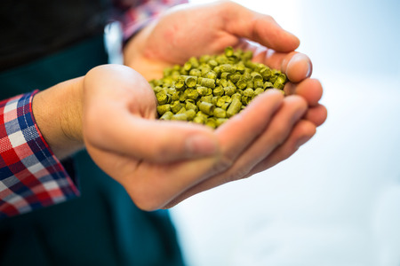 microbrewery: Close-up of brewers showing hops at brewery factory