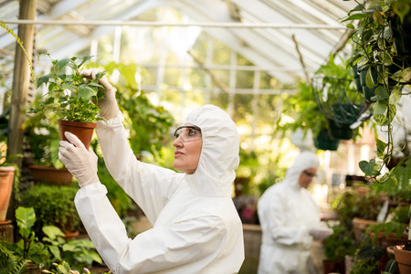 potted plant: Female scientist in clean suit examining potted plant at greenhouse