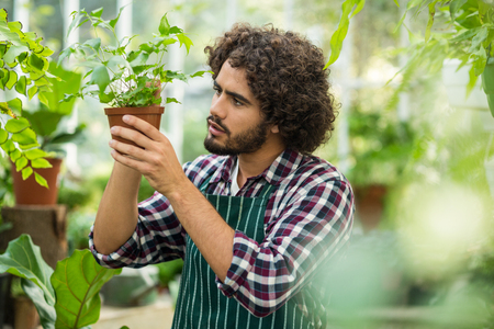 potted plant: Young male gardener examining potted plant at greenhouse