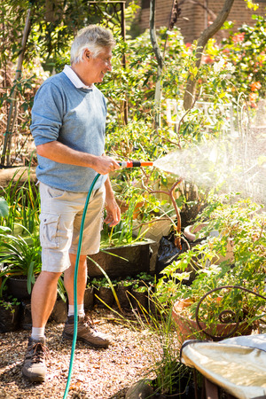 community garden: Happy mature male gardener watering plants from hose at community garden