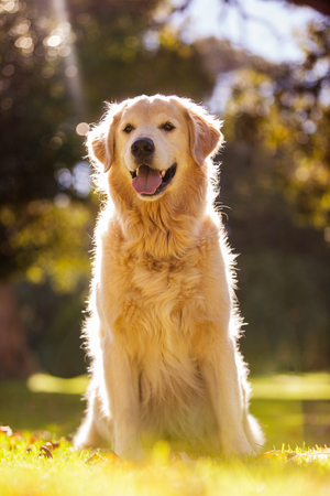 sticking to: Golden Retriever sticking out tongue while sitting at park