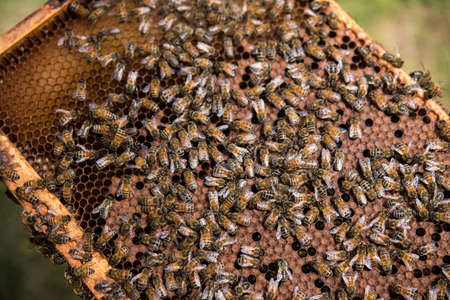 incest: Bees on honeycomb frame in apiary garden LANG_EVOIMAGES