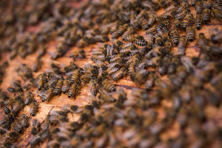 incest: Close-up of bees on honeycomb frame