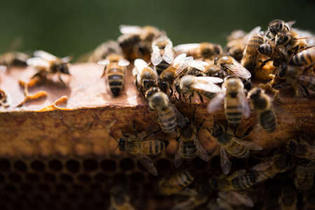 incest: Close-up of bees on honeycomb frame in apiary garden