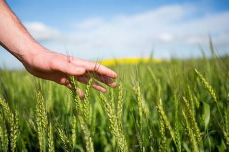 percepción: Close-up of man hand touching crops in field on a sunny day Foto de archivo