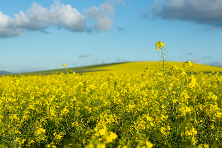 field crop: View of beautiful mustard field on a sunny day