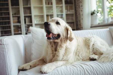 domicile: Pet dog relaxing on a sofa at home