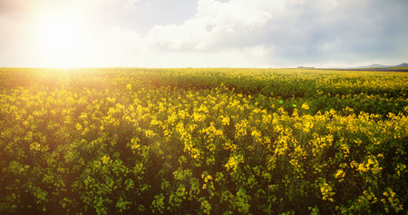 field crop: Scenic view of beautiful mustard field on sunny day