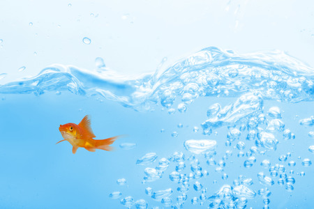 fishtank: Goldfish against white background against close up on blue sparkling water Stock Photo