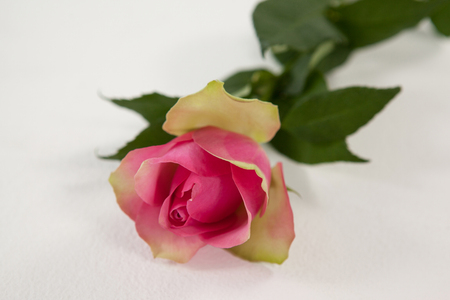 A pink rose against white background