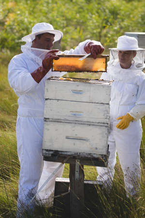 protective suit: Male and female apiarists examining hive frame at apiary