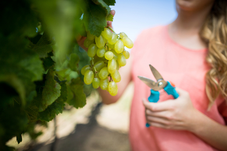 Mid section of woman cutting grapes through pruning shears from plant at vineyard