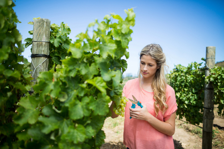 Young woman cutting grapes through pruning shears from plant at vineyard Stock Photo