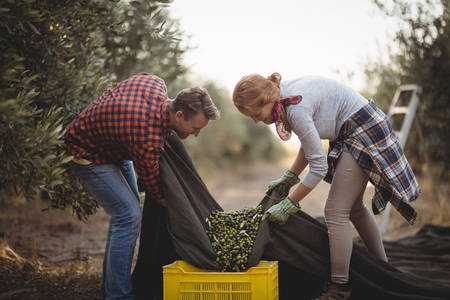 Side view of man and woman collecting olives in crates at farm during sunny day