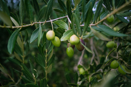 harvested: Close-up of olives on branch in farm