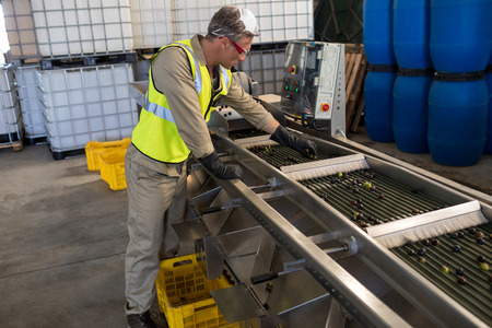 harvested: Technician examining olive on conveyor belt in oil factory Stock Photo