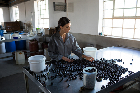 harvested: Attentive worker checking a harvested olives in factory Stock Photo