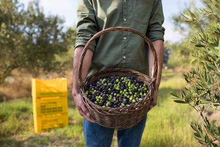 harvested: Mid section of man holding harvested olives in basket on a sunny day