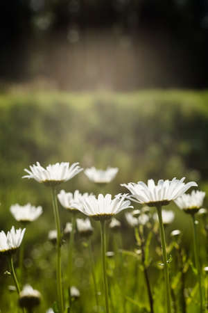 Close-up of white daisy flowers blooming on field
