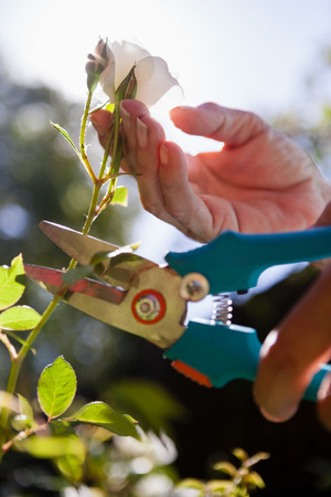 Cropped hands of senior woman cutting flower stem with pruning shears at backyard