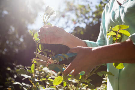 cutting: Midsection of senior woman cutting flower stem with pruning shears at backyard Stock Photo