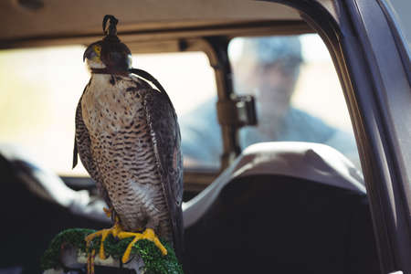 transportation: Close up of sparrowhawk in car with man in background