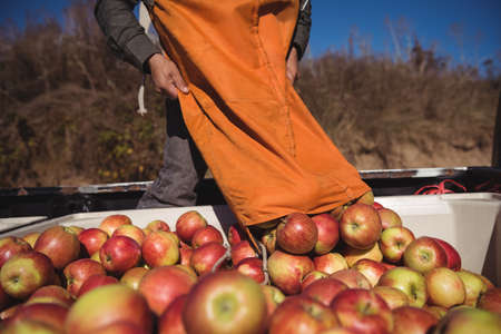 Farmer loading apples in truck on a sunny day LANG_EVOIMAGES
