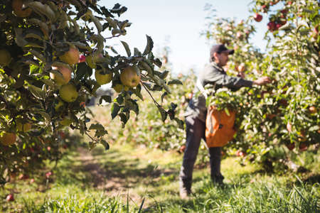 plucking: Farmer collecting apples in apple orchard on a sunny day