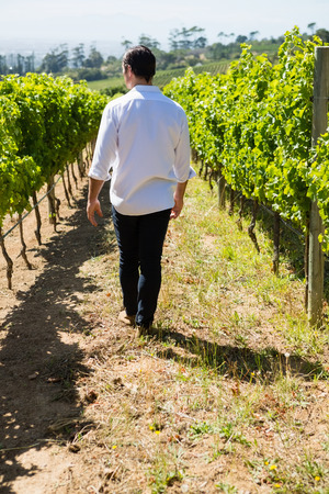 Rear view of vintner walking in vineyard on a sunny day