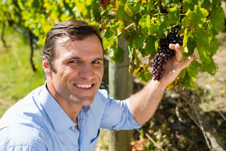 Portrait of vintner examining grapes in vineyard on a sunny day Stock Photo