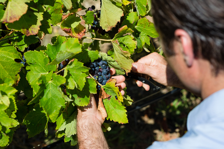 Vintner examining grapes in vineyard on a sunny day Stock Photo