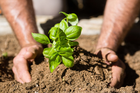 fertile: Close-up of man planting sapling in garden on a sunny day