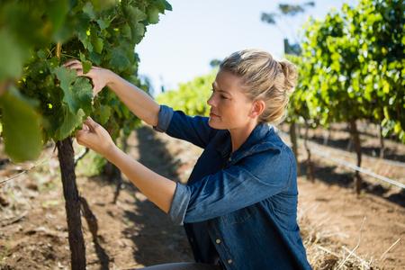 Vrouwelijke wijnhandelaar die druiven in wijngaard op een zonnige dag onderzoeken