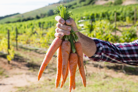 Close-up of farmer holding harvested carrots in field Stock Photo