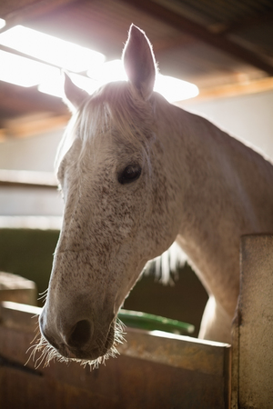 Close-up of white horse in the stable