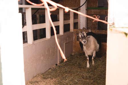 Domestic goat in a barn