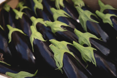Close-up of fresh eggplants in greenhouse LANG_EVOIMAGES