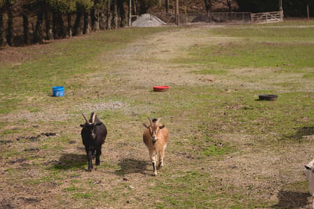 Domestic goats in a farm on a sunny day