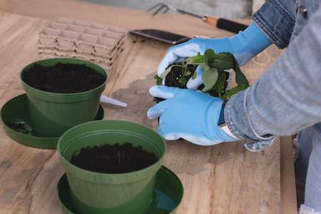 Close-up of wmans hand sapling a pot plant