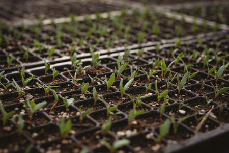 germinación: Rows of small plant saplings in pots being cultivated in a greenhouse