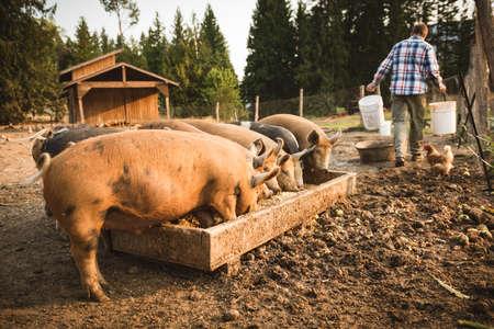 germinación: Cerdo comiendo un alimento en la granja en un día soleado