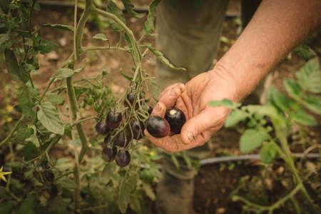 Farmer harvesting vegetables in greenhouse