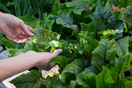 Woman examining leafy vegetables in garden Lizenzfreie Bilder