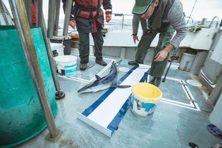 Fisherman measuring length of shark on measurement mat LANG_EVOIMAGES