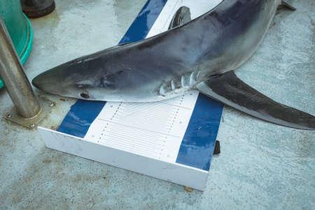 Shark on measuring mat in boat LANG_EVOIMAGES