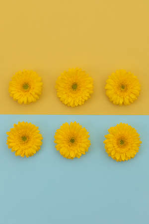 Six yellow gerberas on blue and yellow divided background. flower spring summer nature freshness copy space.