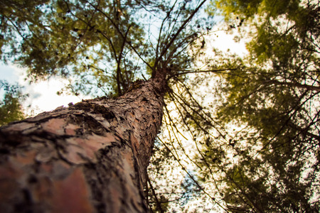 aspen trees: Tree from below. Tree with a narrow depth of field. Browinsh color.