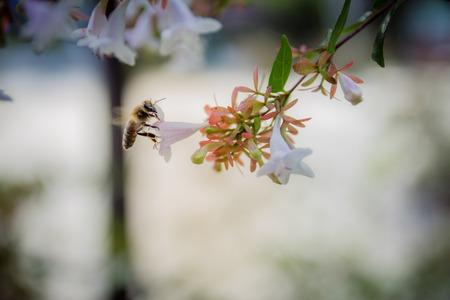 vintage look: Bee on white flower. Close up. Selective focus. vintage look.