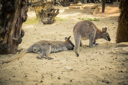 wallaby: Red-necked wallaby in the zoo